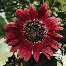 sunflower seed packets shop seeds of change evening sun sunflower organic flower seed