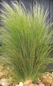 ornamental grasses grasses for landscaping grasses gardens and