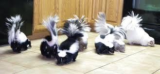 skunk guru news