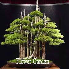 sale 60 pieces bag thunbergii seeds black pine bonsai tree seeds
