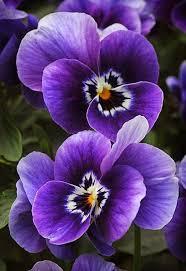 purple flowers 70 beautiful purple flowers care growing tips flowers