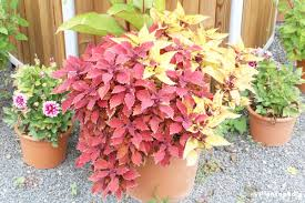 How To Grow Coleus Plants by Painted Nettle Coleus Solenostemon U2013 How To Grow And Care