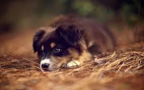 australian shepherd virginia australian shepherds are the best looking dogs in the world