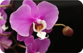 What Is An Orchid Flower - flower meanings orchid