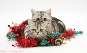 silver tabby exotic kittens with christmas tinsel and bells photo