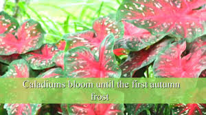how to plant caladium bulbs youtube
