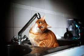 Cat Under Faucet Kitten Turns On Faucet Flooding Florida Animal Shelter Ny Daily