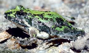 frog and toad identification key amphibian atrn snr