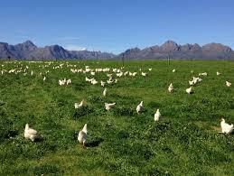 free range chicken housing archives free range chicken farming