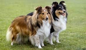 belgian shepherd easy to train easy to training 10 breeds dog pet training blog