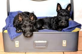 affenpinscher monkey dog free images puppy black vertebrate dog breed scottish