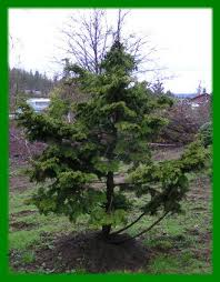 decorative evergreen trees iron