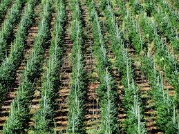 christmas tree farm ashe county nc 7513 bobistraveling flickr