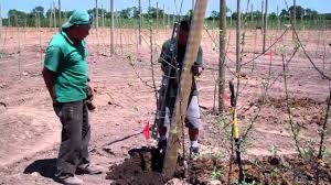 Oak Trellis Royal Oak Farm A Maze N U0027 Apples Installing Trellis Posts Youtube