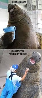 Walrus Meme - walrus with bucket google search walrus bucket pinterest