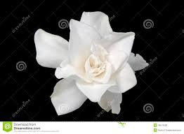 white gardenia stock images 1 227 photos