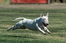 america pit bull terrier club miniature bull terrier club of america u2013 all about the fun sized