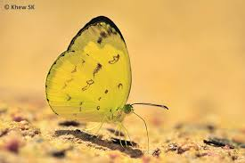 butterflies of singapore revision to the common names of butterflies 3