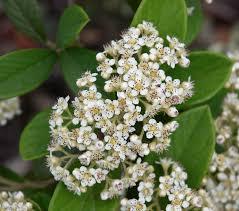 sweet viburnum 200mm pot viburnum cotoneaster coriaceus wikiwand backyard landscape plants