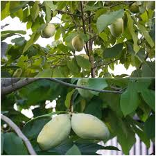 Fruit Tree Netting Paw Paw Fruit Tree Humans Who Grow Food Facebook