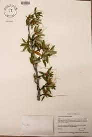 plants native to utah mountain mahogany one tough rose natural history museum of utah