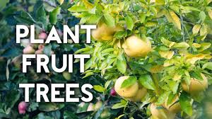 Planting Fruit Trees In Backyard How To Plant A Lemon Tree Or Any Fruit Tree Youtube