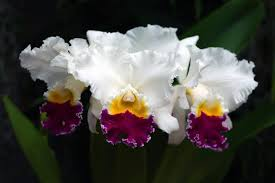 cattleya orchids get free stock photo of cattleya orchid flowers online