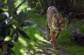 tigers dallas zoohoo