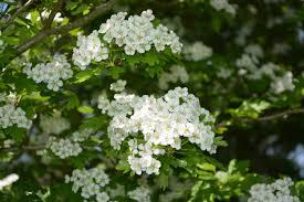 White Flowering Shrub - free images branch blossom flower green produce botany