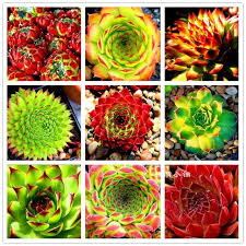 aliexpress com buy fresh succulent plant seeds 10 seeds home