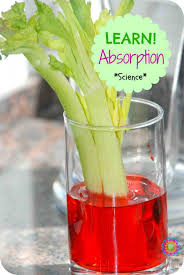 play science experiment for kids celery capillary action the