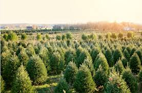 christmas christmas tree farm trees cancer in my thirties farms