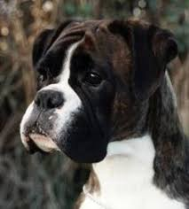 boxer dog reverse brindle a brindle boxer puppy beautiful dogs are amazing