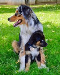 australian shepherd quirks same breed but different as dogs can be petco community 93408
