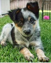 australian shepherd yorkie mix for sale best 25 blue heeler dog ideas on pinterest cattle dogs facts