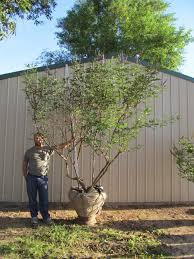 louisiana tree farm inc plantant
