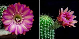 flower blooming brilliant blooming cactus flowers overnight is absolutely hypnotizing