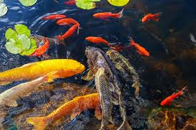 the best fish for backyard ponds