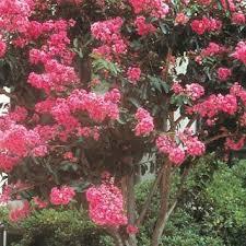 161 best ornamental trees flowering trees images on