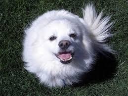 american eskimo dog short hair cutest dog breeds adorable little things to enjoy