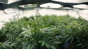 pan right across indoor marijuana plants with fisheye lens stock