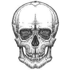 human skull on a white background sketch stock illustration