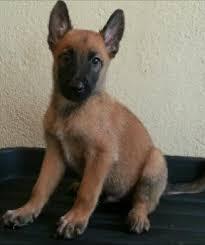 belgian sheepdog on petfinder belgian shepherd malinois puppies sold 5 years 2 months