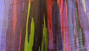 Rainbow Eucalyptus What Is The Rainbow Eucalyptus Worldatlas Com