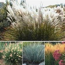 115 best grasses edging border plants walkways images on