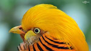 golden pheasant exotic bird hd wallpaper bighdwalls