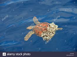 loggerhead sea turtle caretta caretta stock photos u0026 loggerhead