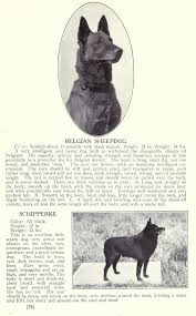 belgian sheepdog club of america national specialty 179 best dogs images on pinterest schipperke dog shadows and