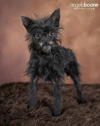 affenpinscher adoption affenhuahua dogs puppies and all there is to know