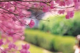 cherry blossom tree facts how to prune a flowering cherry home guides sf gate